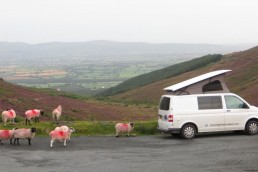 Sheep and Campervan