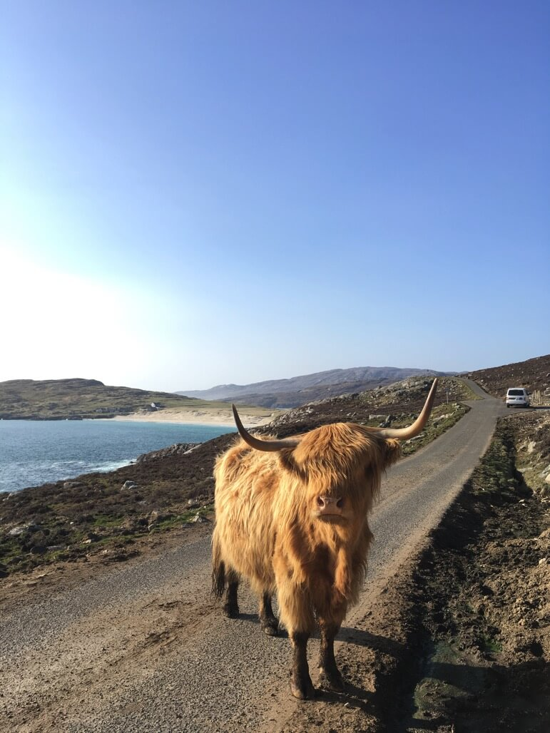highland cow and camper van hire